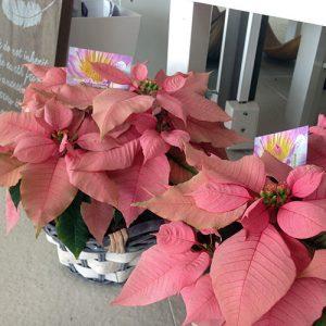 prinsettia-plants