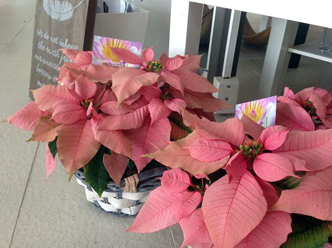Prinsettia Plants